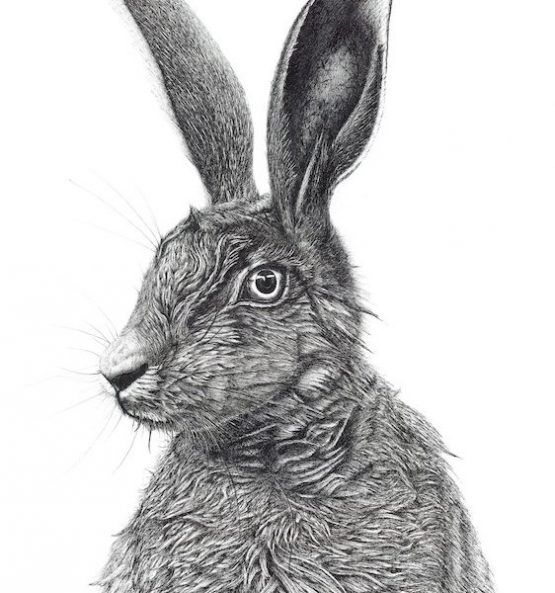 Horace. British Brown Hare.